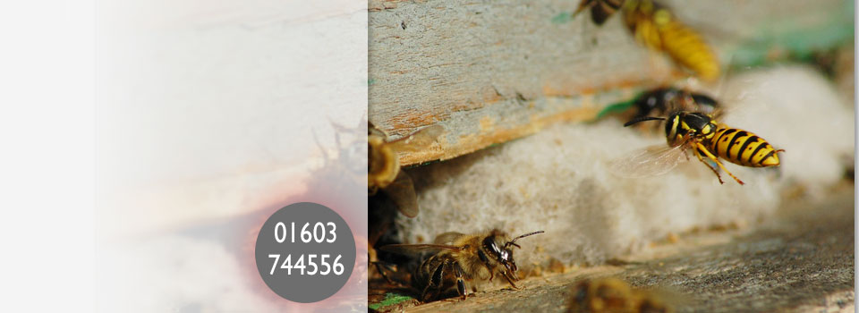 Wasp Nest Removal Norwich